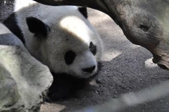 San Diegans love their Pandas