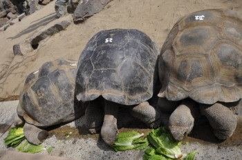 Tortoises at dinner time