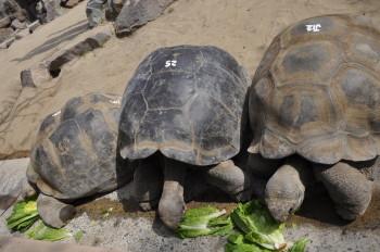 Tortoises at dinner time